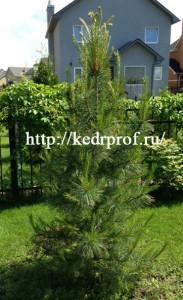 10-летний корнесобственный кедр сибирский, высотой 2,3м, с шишкой
