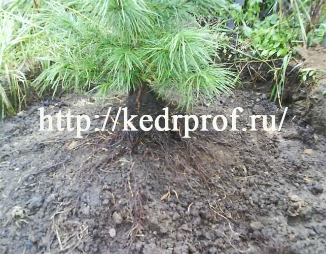 Установите почвенный ком кедра в центр посадочной ямы, освободите закрученные концы корней и расправьте корни по конусу почвы