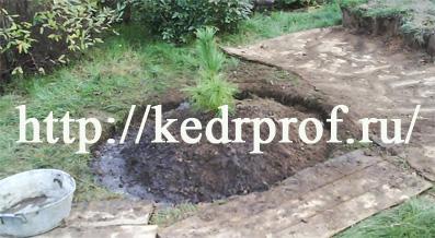 Засыпьте корни плодородной супесью, уплотните почву руками, сформируйте вокруг посадочной ямы кольцевой валик почвы и обильно полейте почву в посадочной яме