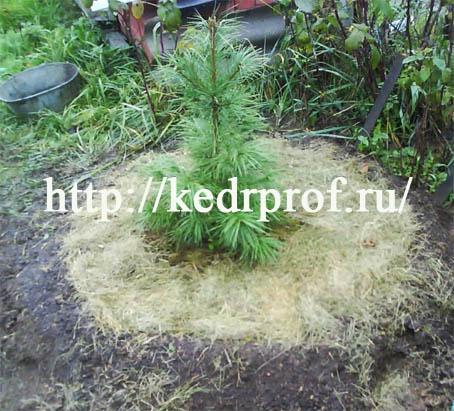 После того, как вода впитается в почву, замульчируйте поверхность почвы 3см. слоем компоста и, дополнительно, 5см. слоем скошенной травы