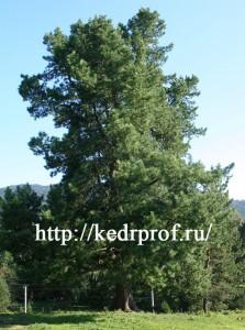 Кедр сибирский в Горном Алтае (ширина кроны более 20м).