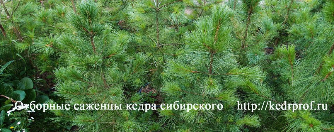 Отборные саженцы кедра сибирского